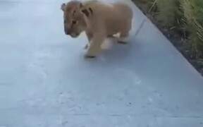 Lion Cubs Are Most Adorable Cats