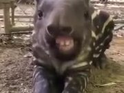 Ever Seen A Baby Tapir Eat?