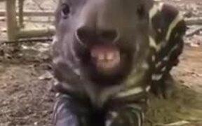 Ever Seen A Baby Tapir Eat?