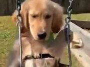 Labrador Loves To Swing