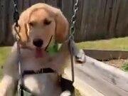 Labrador Loves To Swing
