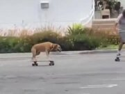 Dog Skateboarding With His Human