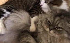 Mean Cat Biting Friend