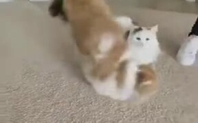 Two Furry Cats Leaping Over Each Other