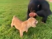 Chimpanzee Checking Out A Lion Cub