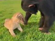 Chimpanzee Checking Out A Lion Cub
