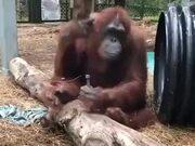 A Carpenter Orangutan
