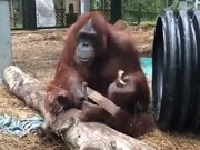 A Carpenter Orangutan