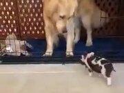 Piglet Has A Dog Guardian