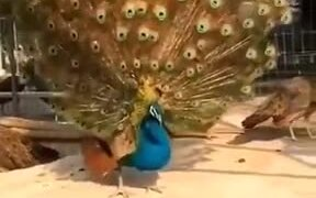 Peacock Displaying Majestic Feathers