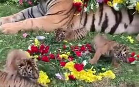 Cute Side Of A Tiger