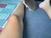 Bored Hedgehog Biting Human