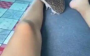 Bored Hedgehog Biting Human
