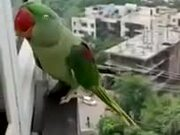 Parrot Calling Mother To Open The Window