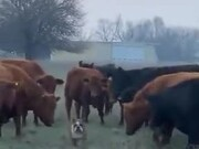 A Bulldog Vs Cows