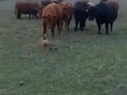 A Bulldog Vs Cows