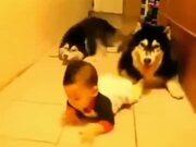 Huskies Sneaking Up On Babies