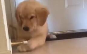 Golden Retriever Puppy Playing Inside