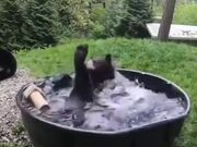 A Black Bear Bathing In Pool