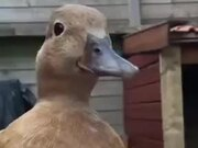 This Cute Duck Wants To Tell You Something!