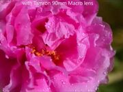 Portulaca Grandiflora Blossom Timelapse