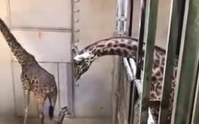 Captive Baby Giraffe Meeting Its Father