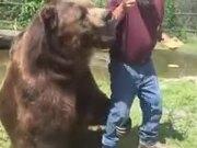 Brave Man Feeding Honey To Bears