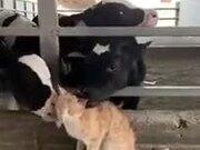 Cows Love Cat