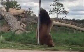 Bear Enjoying A Street Pole