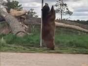 Bear Enjoying A Street Pole