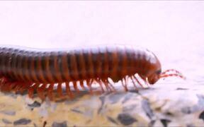 Millipedes Macro Video