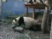 Pandas Are Easily Startled
