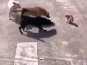 One Cat Vs Three Dogs
