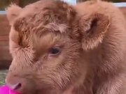 A Very Fluffy Baby Cow