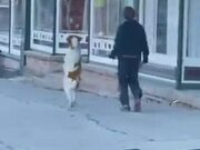 Dog Loves To Walk On Two Legs