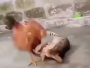 A Wrestling Match Between Cat And Chicken