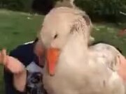 Pet Duck Giving Love Bites