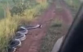 Huge Snake Trying To Attack A Car