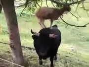 Goats Are Smart As Hell