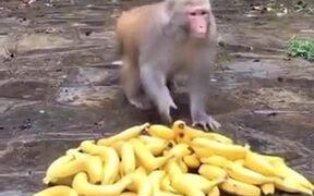 Banana Distribution To Monkeys