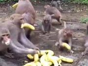 Banana Distribution To Monkeys