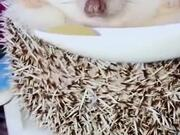 Hedgehog Awaken By Food