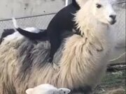 A Dog Riding A Lama