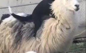 A Dog Riding A Lama