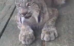 Mountain Cat's Cute Meowing