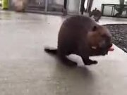 Beaver Walking On Two Legs Carrying A Load