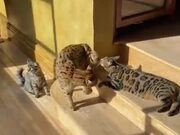 Cats Hate Interruption During Sunbathing Time
