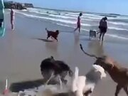 Foolish Dog Running In The Sea