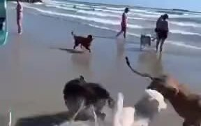 Foolish Dog Running In The Sea