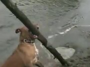 Dog Discovered A Giant Stick